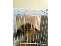 British Switty Switty Goldfinch Mule