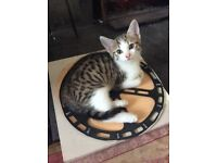Bengal Cross Kitten 8 weeks old. Wormed and Flea Treated Ready for Her Forever Home.