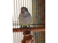 Green 9 month old Female Quaker + Cage