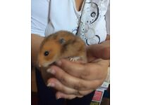 Male Syrian hamster plus cage for sale