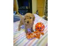 poochon puppies . miniature poodle /bichon frise