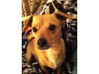 Two Jack Russell x Chihuahua's need new homes