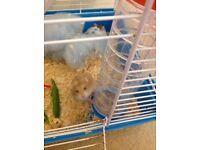 2 gorgeous russian dwarf hamsters