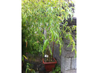 Black Bamboo in large pot