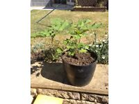 Acer sycamore plant with tub