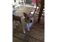 3 year old male jack Russell urgently needing a new home FREE