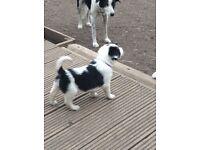 Border/Merle puppies