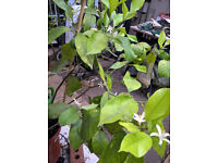 Lemon tree, potted, about 1.5m high