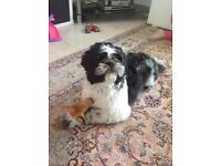 Lovely 1year old pedigree neutered male Shih Tzu for sale