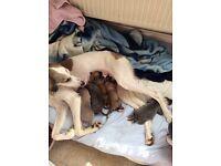 Saluki cross whippet puppies