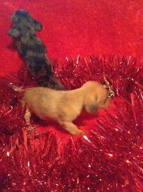 5 miniature dachshund puppies