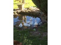 White call ducklings