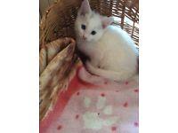 2 Kittens Left . Grays Essex