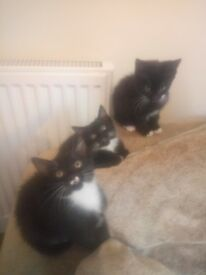 3 beautiful kittens black and white