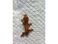 Tailless harlequin crested gecko
