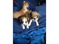 Chihuahua full breed mum KC registered £450.00 each
