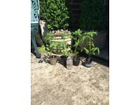 Homegrown Tomato Plants x 4, £5 🚚 Delivered Free Locally
