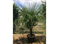 Chusan Palm Trees Hardy 50 Litre size (Trachycarpus Fortunei) For Sale.