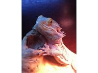 Bearded Dragon and enclosure for sale