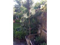 Scots Pine Tree in Stone Pot