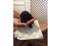 Old English Pedigree Black Lab Puppies