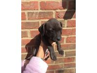 Staff puppies for sale 3 lovely boys