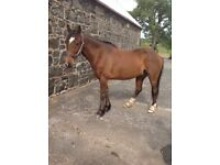 14.2 hh Bay horse for part loan