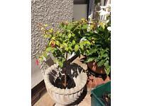 Standard fuschia plant