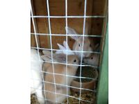 Alapino bunnies