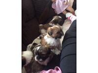 I am wanting excellent family homes for my Shih Tzu pups. little girl Millie had 5