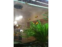 Platys for sale