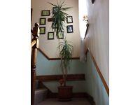 Dragon plant approx 240cm (8foot)