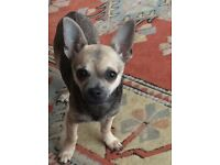 Chihuahua Girls x2