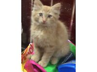 Very cute male ginger and cream kitten