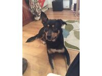 Dog for sale im selling a 19mouth old rottie cross dog