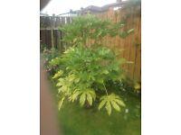 Fatsia plant