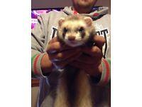 mosses ferret/ pole cat sanctuary