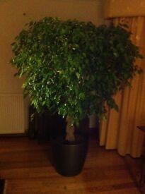Indoor ficus tree