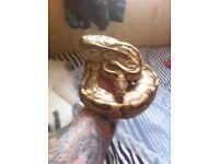 Proven lesser royal python male