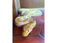 Female albino and male granite het albino Burmeset Python