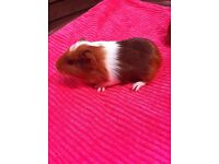 Baby females guinea pigs for sale