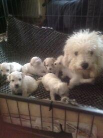 Kennel club registered Bichon frise boy pups
