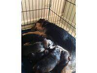 Lovely Patterjack/Lakeland terrier puppies