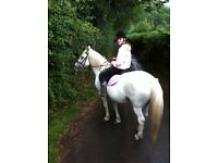 14.2hh gelding for part loan £20 per week