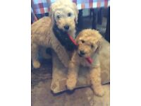 Golden doodle pups for sale - just 2 stunning girls ready now