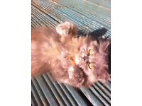 Missing Persian cat !!