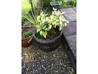 2 large wooden barrel planters with plants