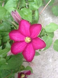 6 Year Old Red Climbing Clematis