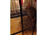 Chinchilla & cage for sale £30