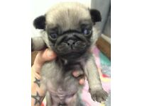Male pug puppy